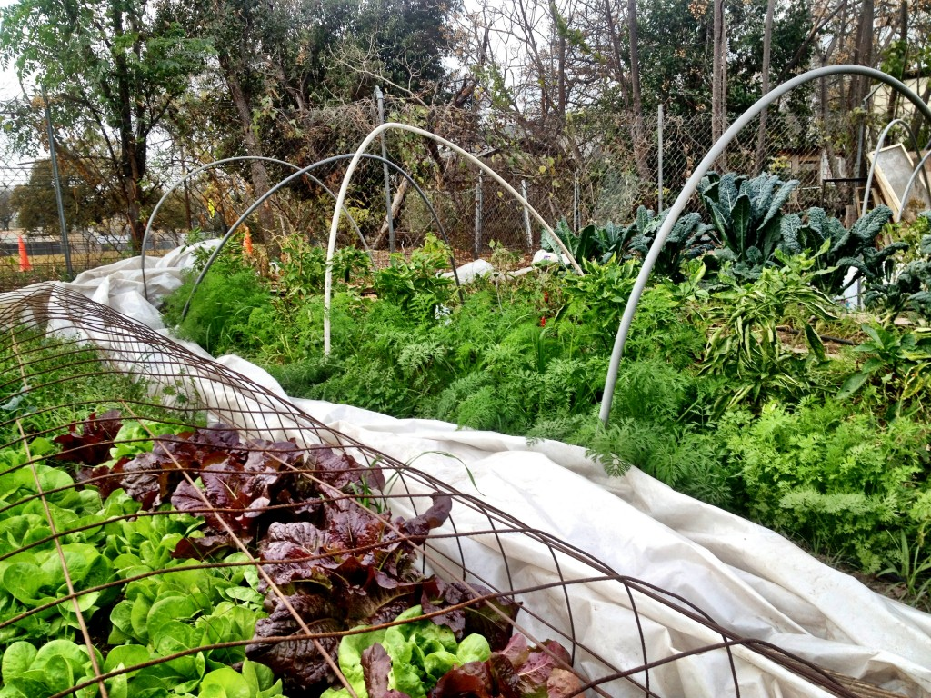 Lettuce, Carrots, Kale, Sweet Peppers - Winter at Austin Urban Farm
