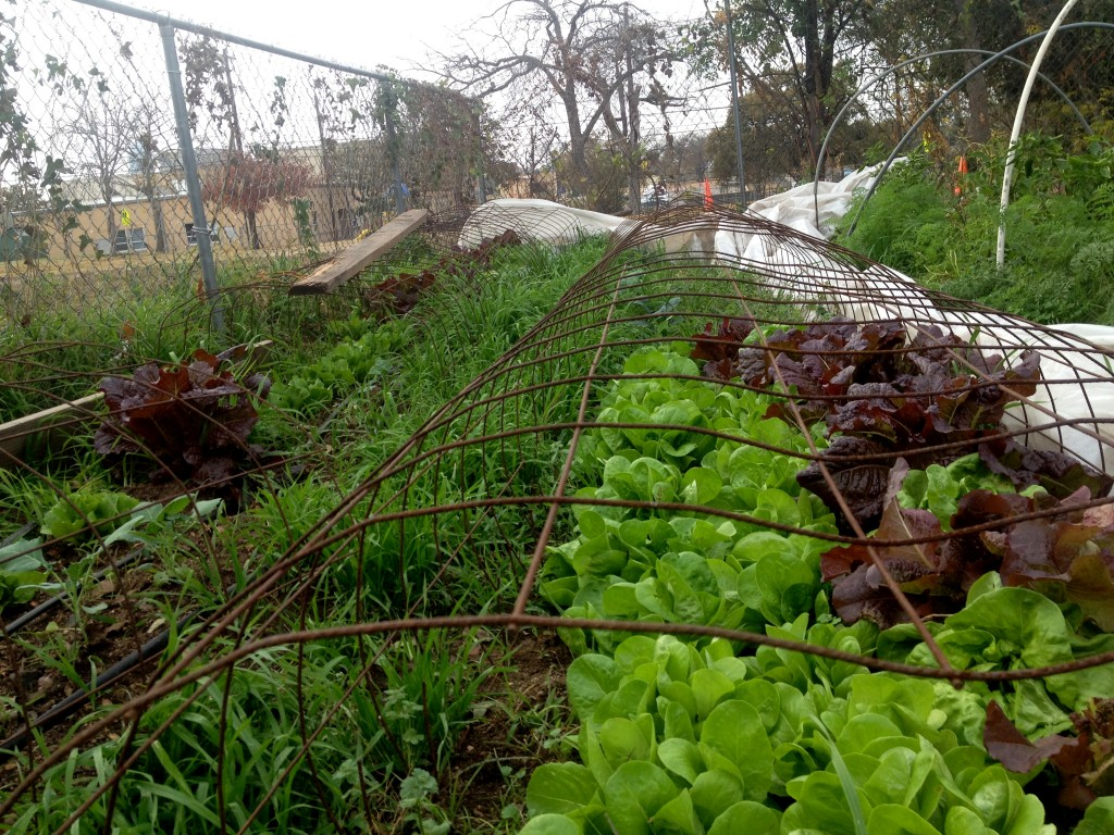 Red and Green Romaine with cover crop in the walkway. Austin Urban Farm